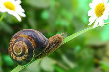Common Snail Crawling On Plant...