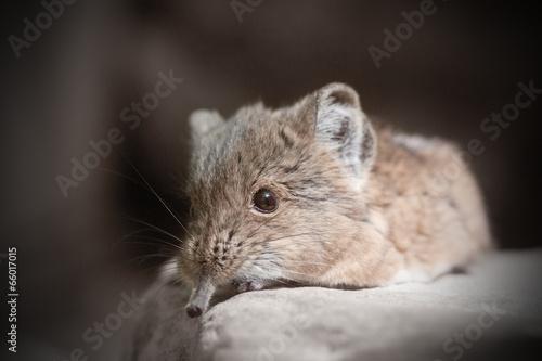 Fotografie, Obraz  Short-eared elephant shrew (Macroscelides proboscideus)