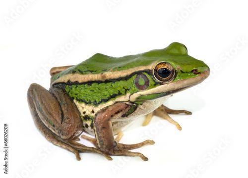 Poster Kikker frog