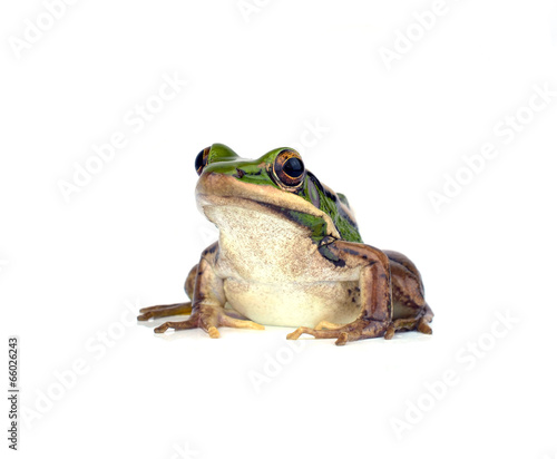 Tuinposter Kikker Frog isolated on white background
