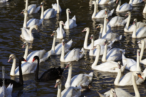 Poster Cygne many black and white swan