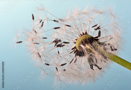 Fototapety, obrazy: Dandelion clock: wishes and dreams    :)