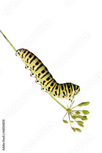 Fotografía  Green caterpillar on white background
