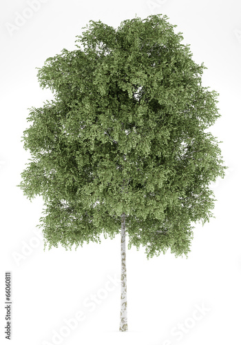 Obraz na plátně silver birch tree isolated on white background