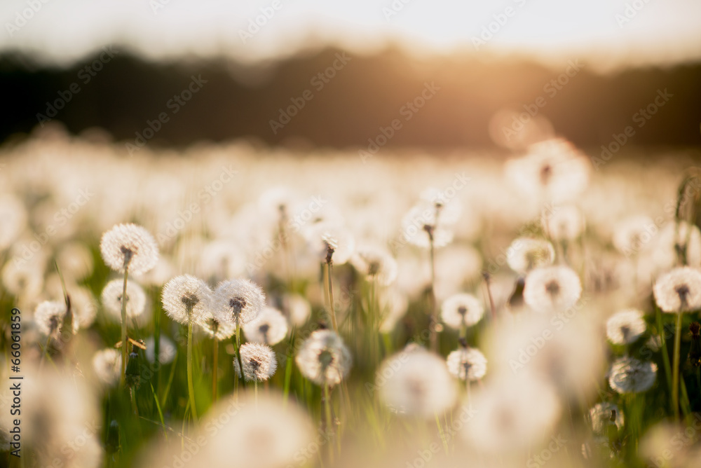 Fototapety, obrazy: dandelion field at sunset