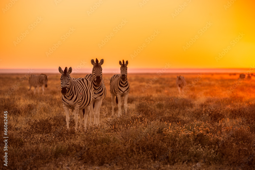 Fototapety, obrazy: A herd of Zebra grazing at sunrise in Etosha, Namibia