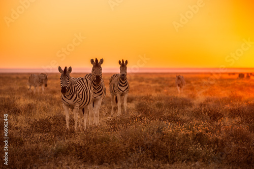 Spoed Fotobehang Afrika A herd of Zebra grazing at sunrise in Etosha, Namibia