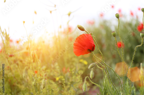 Photo  Poppy flowers, outdoors