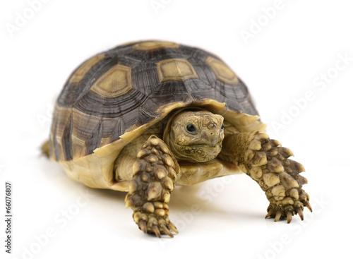 Photo sur Toile Tortue turtle