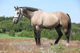 Piękny szary koń na polanie