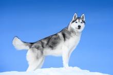 Siberian Husky On Blue Sky Background