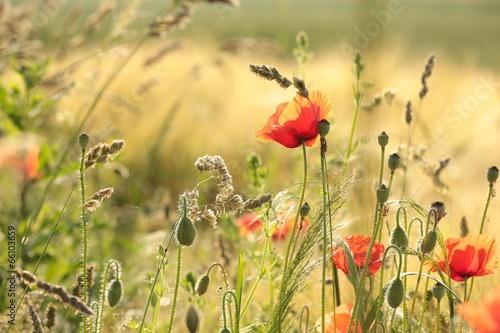 Fotobehang Poppy Poppy in the field in the morning