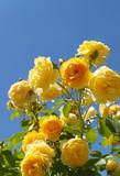 Żółte róże ogrodowe