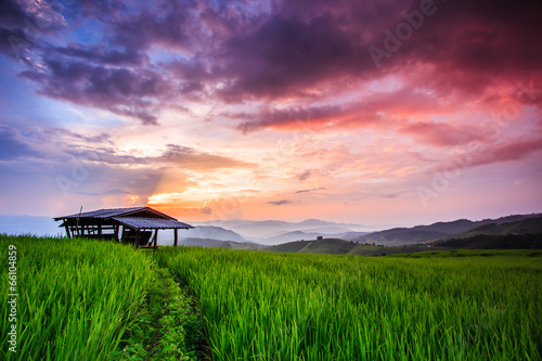 Poster Rose clair / pale Paddy Green in the sunset, Chiangmai province of Thailand