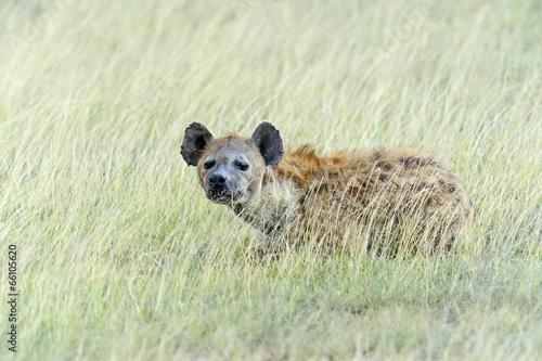 Poster Hyène African Hyena