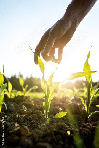 Photo Reaching for young maize plant