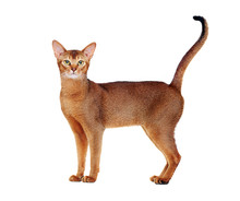 Abyssinian Cat Tail Up Side Vi...