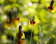Mexican Hat Coneflowers
