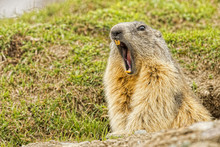 Isolated Marmot Portrait While Yawning
