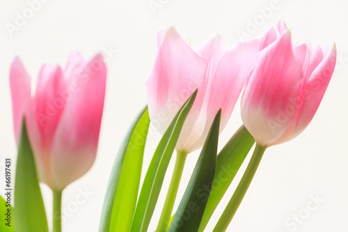 Foto op Plexiglas Tulp Soft flowers of tree pink tulips