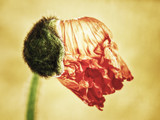 poppy  flower (172) (papaver)