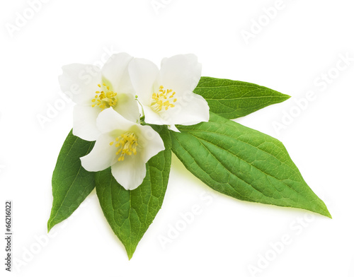 Foto op Plexiglas Magnolia jasmine white flower isolated on white background