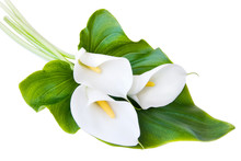 Three White Calla Lilies On A White Background