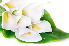 White Calla Lilies On A White ...