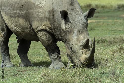 Garden Poster Rhino White rhino