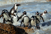 African Penguins (Spheniscus D...