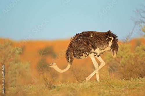 Staande foto Struisvogel Female ostrich, Kalahari desert