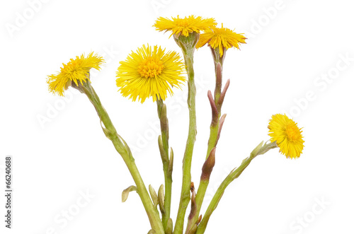 Tussilago farfara flowers Canvas-taulu
