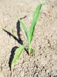 trockener Boden und eine junge Maispflanze