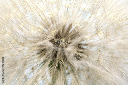 big white fluffy dandelion closeup