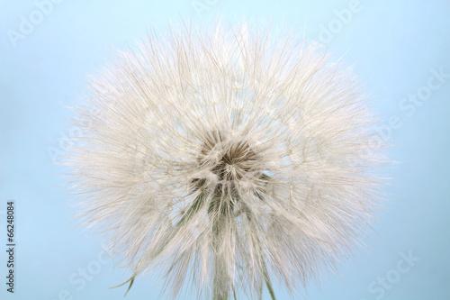 large dandelion flower on a blue background
