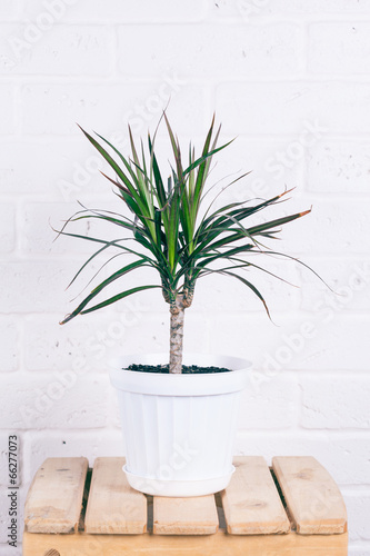 dracaena in white pot standing on wooden chair against white bri
