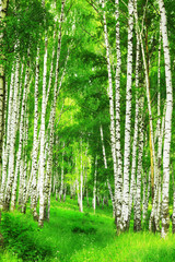 Fototapeta Brzoza forest birch