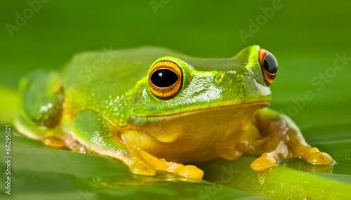 Tuinposter Kikker Orange-thighed tree frog