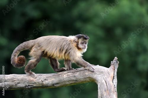 Capuchin monkey Billede på lærred