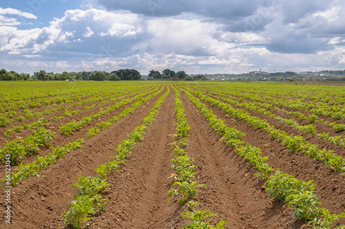 Papiers peints Vignoble The processed field of growing potatoes with sky in the backgrou