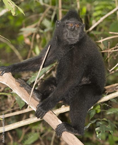 Staande foto Buffel crested black macaque while looking at you in the forest