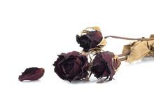 Dead Rose On White Background.