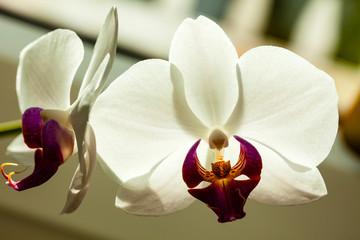 Fototapeta Biały kwiat orchidei