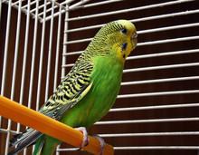 Yellow Green Wavy Parrot