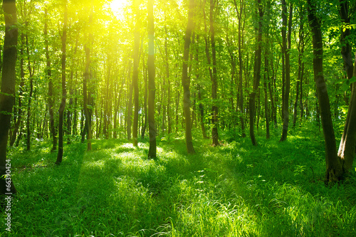 Fototapeta Sunlight in the green forest, spring time obraz na płótnie