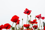 Beautiful red poppy flowers