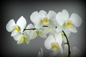 FototapetaBeautiful white orchid, on Grey background