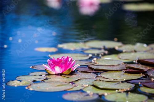 Poster de jardin Nénuphars Water lily