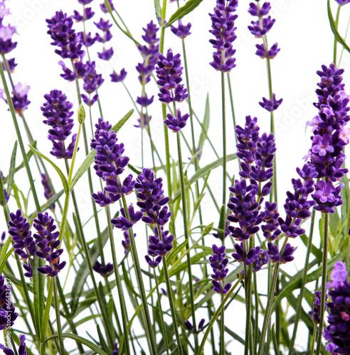 zblizenie-na-kwiaty-fioletowej-lawendy