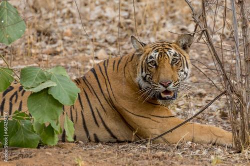 Fotografie, Obraz  Tiger
